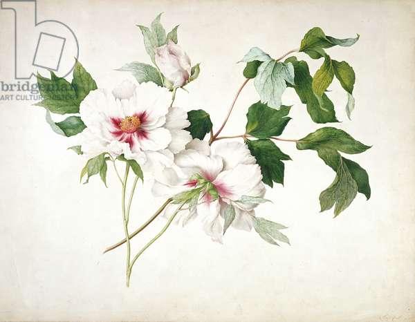Japanese Tree Peony (Paeonia suffructicosa), 1815 (w/c, gouache, gum arabic over pencil on paper)