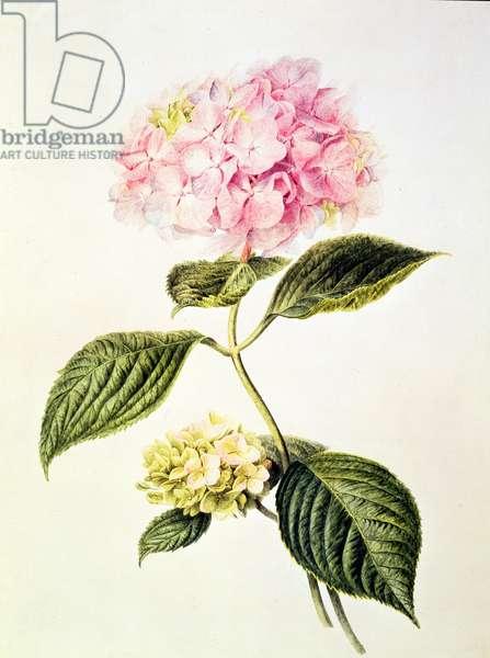 PD.64-1975 Hydrangea hortensia (w/c)