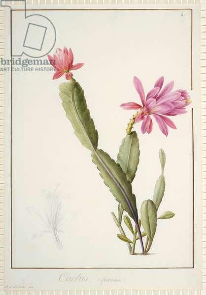 Cactus Speciosus, 1811 (w/c & bodycolour over traces of graphite on vellum)