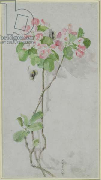 Apple Blossom and Bees (pencil and w/c on paper)