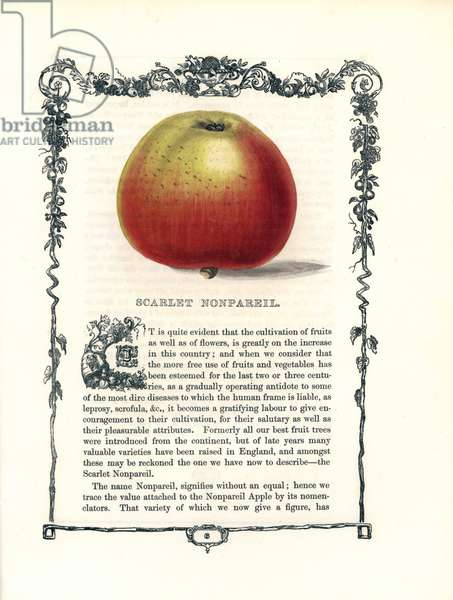 "Unmatched apple. Lithograph by Benjamin Maund (1790-1863) published in The Fruitist, London, England, 1850. Scarlet Nonpareil apple, Malus domestica, within a Della Robbia ornamental frame with text below. Handcoloured glyphograph engraving from Benjamin Maund's """" The Fruitist,"""" London, 1850, Groombridge and Sons."