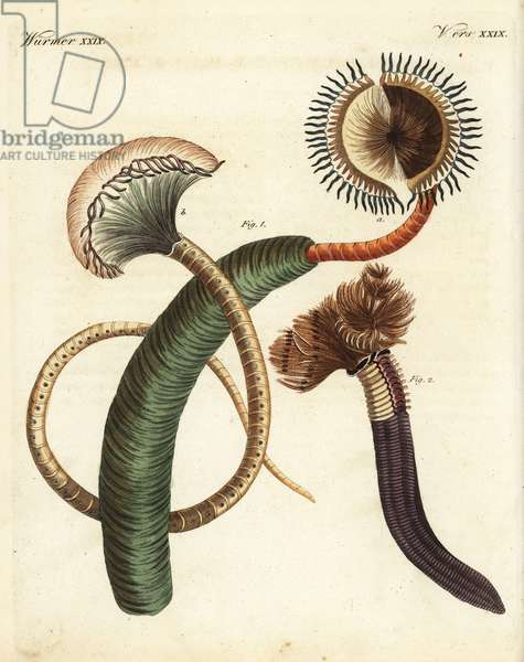 Peacock worm, Sabella pavonina, and feather duster worm, Bispira volutacornis. Handcoloured copperplate engraving from Friedrich Johann Bertuch's Bilderbuch fur Kinder (Picture Book for Children), Weimar, 1823.