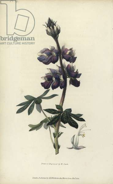"""Nootka lupin, Lupinus nootkatensis. Handcoloured botanical illustration drawn and engraved by William Clark from Richard Morris's """"Flora Conspicua"""" London, Longman, Rees, 1826. William Clark was former draughtsman to the London Horticultural Society and illustrated many botanical books in the 1820s and 1830s."""