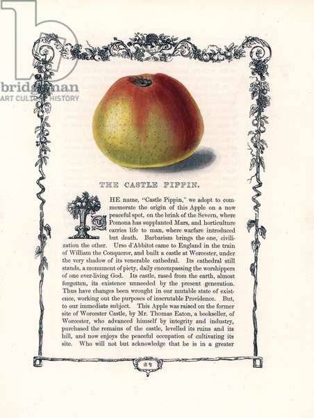 "Reinette apple called the castle. Lithograph by Benjamin Maund (1790-1863) published in The Fruitist, London, England, 1850. Castle Pippin apple, Malus domestica. Handcoloured glyphograph from Benjamin Maund's """" The Fruitist,"""" London, 1850, Groombridge and Sons."