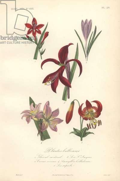 Decorative botanical print with gladiolus, crocus, lily, amaryllis and superb lily