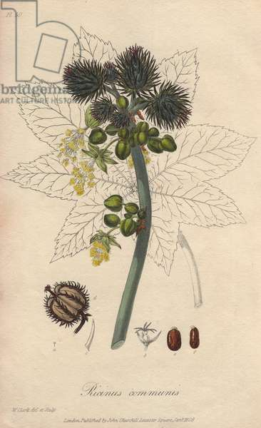 Castor oil plant, Ricinus communis