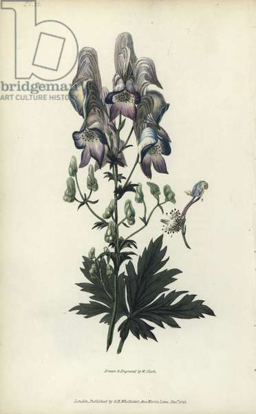 """Wolf's bane, Aconitum variegatum. Handcoloured botanical illustration drawn and engraved by William Clark from Richard Morris's """"Flora Conspicua"""" London, Longman, Rees, 1826. William Clark was former draughtsman to the London Horticultural Society and illustrated many botanical books in the 1820s and 1830s."""