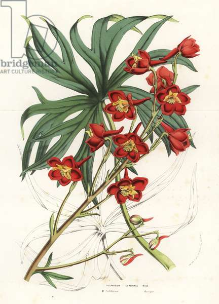 Cardinal larkspur, Delphinium cardinal. Handcoloured lithograph from Louis van Houtte and Charles Lemaire's Flowers of the Gardens and Hothouses of Europe, Flore des Serres et des Jardins de l'Europe, Ghent, Belgium, 1856.