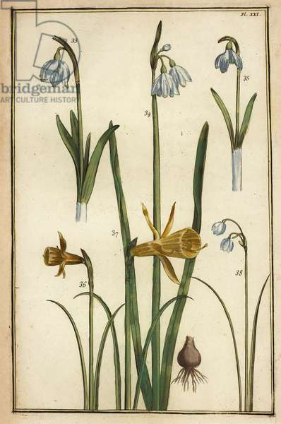 Wild daffodil, Narcissus pseudonarcissus, and snowdrops, Galanthus nivalis