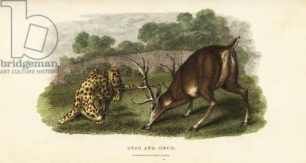 Battle between a red deer stag and an ounce or hunting tiger