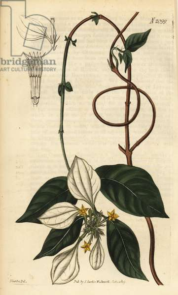 Mussaenda pubescens. Handcoloured copperplate engraving after an illustration by John Curtis from Samuel Curtis' Botanical Magazine, London, 1819.