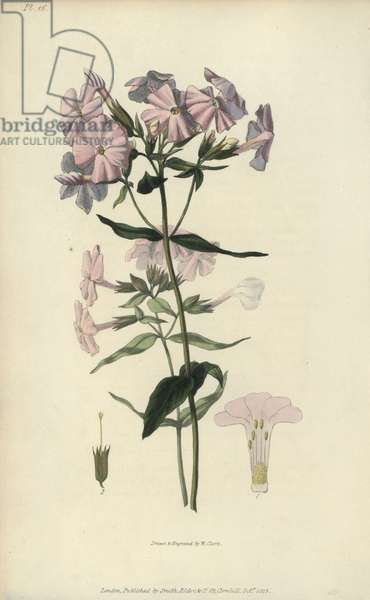 """Pale lychnidea, Phlox carnea. Handcoloured botanical illustration drawn and engraved by William Clark from Richard Morris's """"Flora Conspicua"""" London, Longman, Rees, 1826. William Clark was former draughtsman to the London Horticultural Society and illustrated many botanical books in the 1820s and 1830s."""