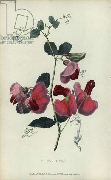 """Everlasting pea, Lathyrus grandiflorus. Handcoloured botanical illustration drawn and engraved by William Clark from Richard Morris's """"Flora Conspicua"""" London, Longman, Rees, 1826. William Clark was former draughtsman to the London Horticultural Society and illustrated many botanical books in the 1820s and 1830s."""