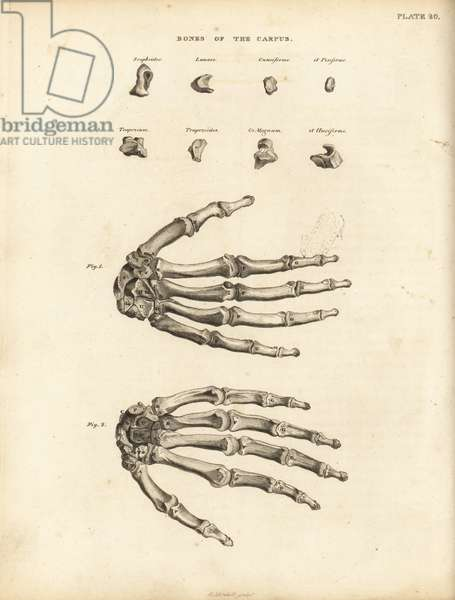 Bones of the carpus, metacarpus and fingers in the human hand. Copperplate engraving by Edward Mitchell after an anatomical illustration from John Barclay's A Series of Engravings of the Human Skeleton, MacLachlan and Stewart, Edinburgh, 1824.