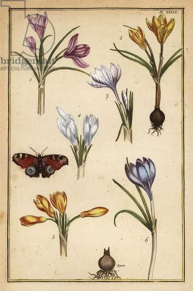 Spring crocus, Crocus vernus, and European peacock butterfly, Aglais io