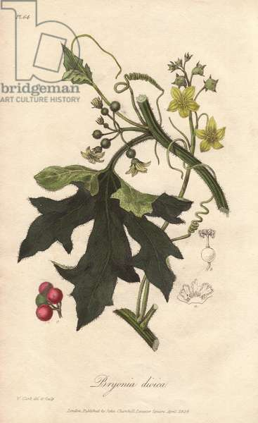 Red bryony, Bryonia dioica