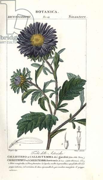 China aster, Callistephus chinensis
