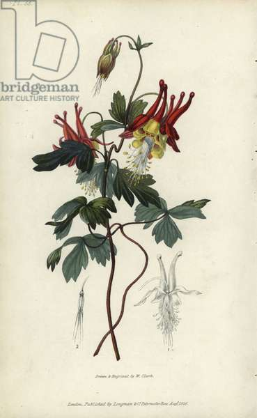 """Slender Canadian columbine. Aquilegia canadensis gracilis. Handcoloured botanical illustration drawn and engraved by William Clark from Richard Morris's """"Flora Conspicua"""" London, Longman, Rees, 1826. William Clark was former draughtsman to the London Horticultural Society and illustrated many botanical books in the 1820s and 1830s."""