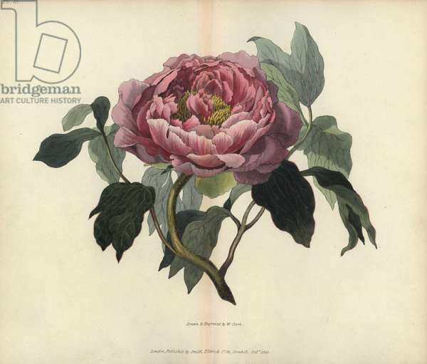 """Shrubby peony, Paeonia sheep. Handcoloured botanical illustration drawn and engraved by William Clark from Richard Morris's """"Flora Conspicua"""" London, Longman, Rees, 1826. William Clark was former draughtsman to the London Horticultural Society and illustrated many botanical books in the 1820s and 1830s."""