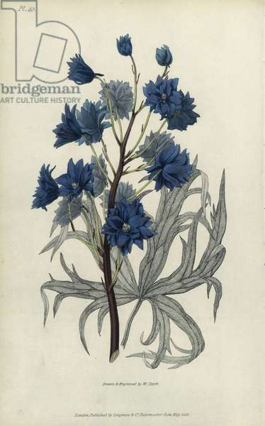 """Dark purple larkspur, Delphinium elegans pleno. Handcoloured botanical illustration drawn and engraved by William Clark from Richard Morris's """"Flora Conspicua"""" London, Longman, Rees, 1826. William Clark was former draughtsman to the London Horticultural Society and illustrated many botanical books in the 1820s and 1830s."""