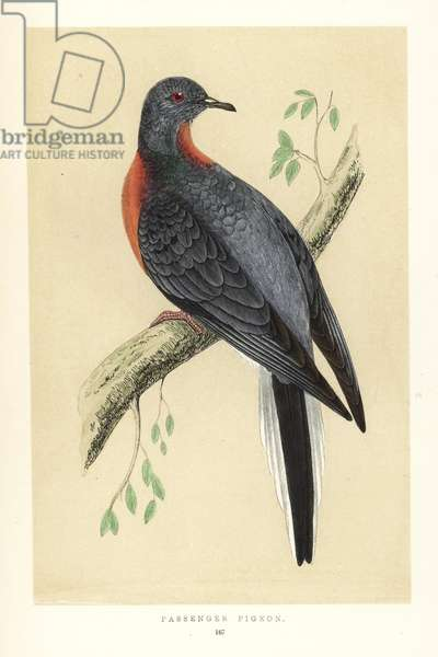 Passenger pigeon or wild pigeon. Extinct. Handcoloured woodblock engraving by Benjamin Fawcett from Francis Orpen Morris 'Natural History of British Birds, London, 1850.