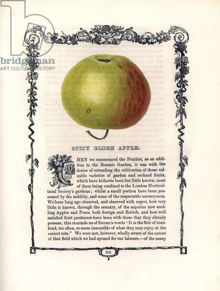 "Apple variete Spicy globe. Lithograph by Benjamin Maund (1790-1863) published in The Fruitist, London, England, 1850. Spicy Globe apple, Malus domestica, within a Della Robbia ornamental frame with text below. Handcoloured glyphograph from Benjamin Maund's """" The Fruitist,"""" London, 1850, Groombridge and Sons."