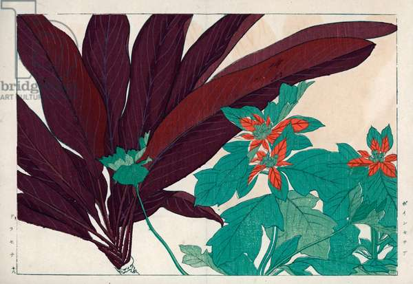 """Poinsettia or Christmas star and Dracaena or dragon maker. Poinsettia, Euphorbia pulcherrima, and shrubby dracaena. Handcoloured woodblock print from Konan Tanigami's """""""" Seiyou Sokazufu"""""""" (Pictorial Album of Western Plants and Flowers: Summer), Unsodo, Kyoto, 1917. Tanigami (1879-1928) depicted 125 varieties of garden plants through the four seasons."""