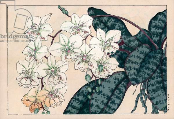"""Orchidee Palaenopsis. Phalaenopsis orchid variety. Handcoloured woodblock print from Konan Tanigami's """""""" Seiyou Sokazufu"""""""" (Pictorial Album of Western Plants and Flowers: Autumn Winter), Unsodo, Kyoto, 1917. Tanigami (1879-1928) depicted 125 varieties of garden plants through the four seasons."""