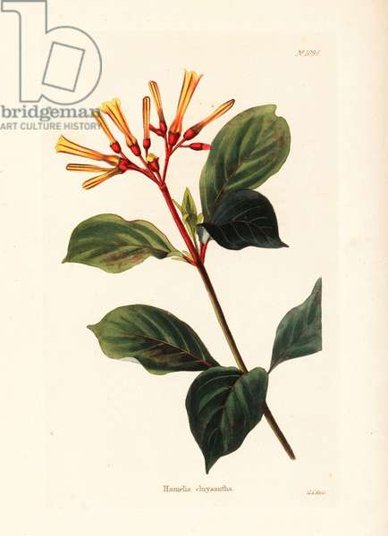 Hamelia chrysantha. West Indies. Handcoloured copperplate engraving by George Cooke from Conrad Loddiges' Botanical Cabinet, Hackney, 1825.