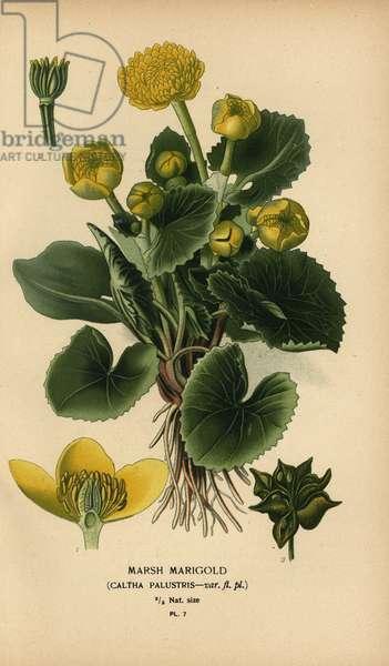 Marsh marigold, Caltha palustris.