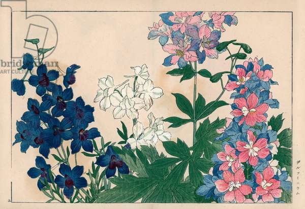 """Large dolphinelle or lark foot. Larkspurs, Delphinium elatum. Handcoloured woodblock print from Konan Tanigami's """""""" Seiyou Sokazufu"""""""" (Pictorial Album of Western Plants and Flowers: Summer), Unsodo, Kyoto, 1917. Tanigami (1879-1928) depicted 125 varieties of garden plants through the four seasons."""