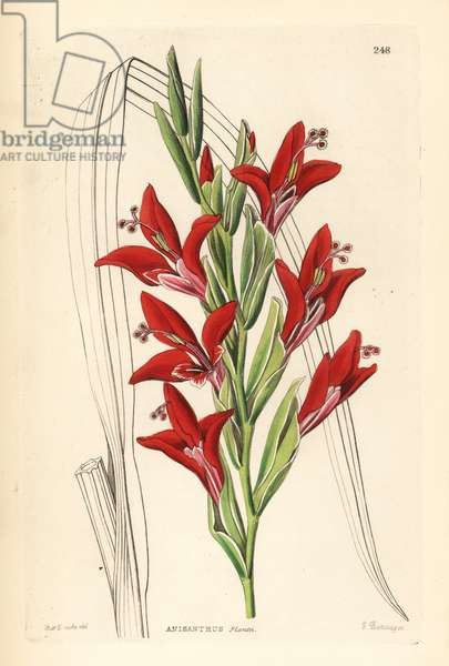 Glaieul - Painted lady gladiolus, Gladiolus splendens (Plant's anisanth, Anisanthus plantii). Handcoloured copperplate engraving by G. Barclay after Miss Sarah Drake from John Lindley and Robert Sweet's Ornamental Flower Garden and Shrubbery, G. Willis, London, 1854.