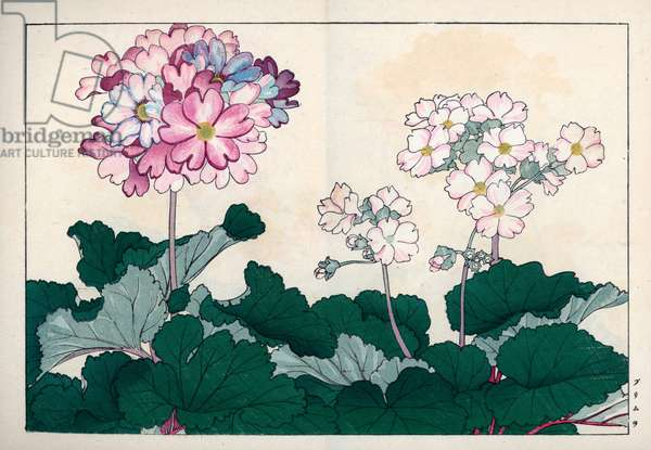 """Variety of primeveres of gardens. Primula varieties. Handcoloured woodblock print from Konan Tanigami's """""""" Seiyou Sokazufu"""""""" (Pictorial Album of Western Plants and Flowers: Autumn Winter), Unsodo, Kyoto, 1917. Tanigami (1879-1928) depicted 125 varieties of garden plants through the four seasons."""