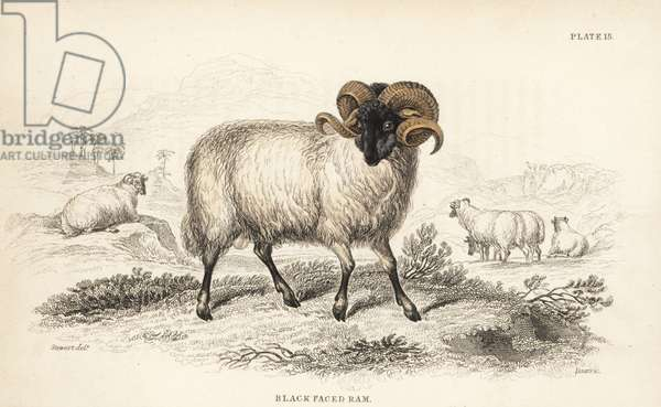Black-faced ram or Norfolk Horn, Ovis aries. Handcoloured steel engraving by Lizars after an illustration by James Stewart from William Jardine's Naturalist's Library, Edinburgh, 1836.