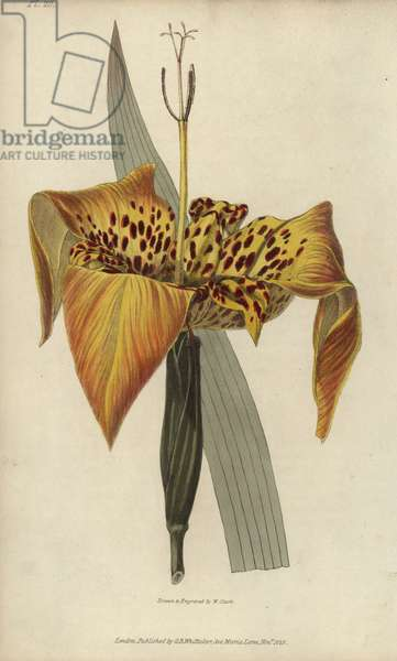 """Tiger flower, Tigridia pavonia. Handcoloured botanical illustration drawn and engraved by William Clark from Richard Morris's """"Flora Conspicua"""" London, Longman, Rees, 1826. William Clark was former draughtsman to the London Horticultural Society and illustrated many botanical books in the 1820s and 1830s."""