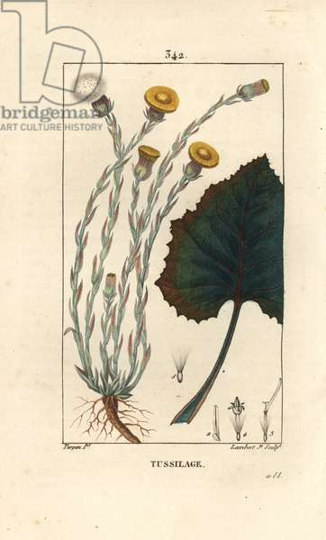 """Tussilage ou pas d'donkey - Colts foot, Tussilago fara, with flower, leaf, stem and root. Handcoloured stipple copperplate engraving by Lambert Junior from a drawing by Pierre Jean-Francois Turpin from Chaumeton, Poiret and Chamberet's """""""" La Flore Medicale,"""""""" Paris, Panckoucke, 1830."""