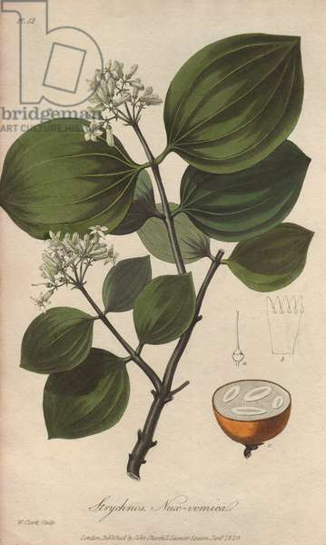 Strychnine tree, Strychnos nux-vomica