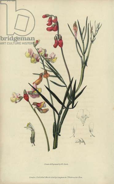 """Party coloured bittervetch, Lathyrus pannonicus. Handcoloured botanical illustration drawn and engraved by William Clark from Richard Morris's """"Flora Conspicua"""" London, Longman, Rees, 1826. William Clark was former draughtsman to the London Horticultural Society and illustrated many botanical books in the 1820s and 1830s."""