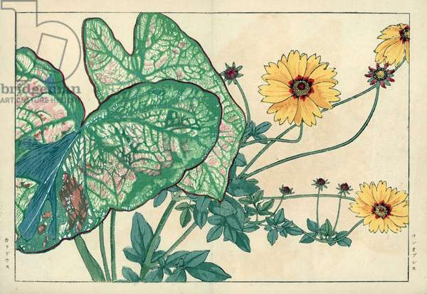 """Coreopsis has large flowers (yellow) and caladion or painter's palette. Coreopsis grandiflora and Caladium bicolor. Handcoloured woodblock print from Konan Tanigami's """""""" Seiyou Sokazufu"""""""" (Pictorial Album of Western Plants and Flowers: Summer), Unsodo, Kyoto, 1917. Tanigami (1879-1928) depicted 125 varieties of garden plants through the four seasons."""