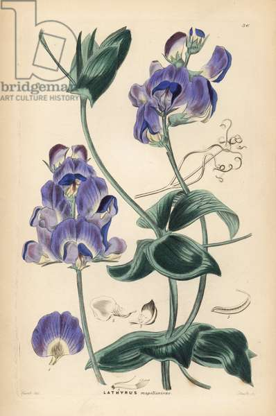 Gesse de Magellan - Magellan everlasting pea or Lord Anson's pea, Lathyrus magellanicus. Handcoloured copperplate engraving by Frederick W. Smith after J. Hart from John Lindley and Robert Sweet's Ornamental Flower Garden and Shrubbery, G. Willis, London, 1854.