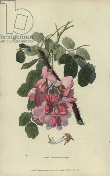"""Bristly locust tree, Robinia hispida. Handcoloured botanical illustration drawn and engraved by William Clark from Richard Morris's """"Flora Conspicua"""" London, Longman, Rees, 1826. William Clark was former draughtsman to the London Horticultural Society and illustrated many botanical books in the 1820s and 1830s."""