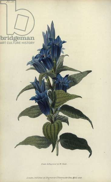 """Willow gentian, Gentiana asclepiadea. Handcoloured botanical illustration drawn and engraved by William Clark from Richard Morris's """"Flora Conspicua"""" London, Longman, Rees, 1826. William Clark was former draughtsman to the London Horticultural Society and illustrated many botanical books in the 1820s and 1830s."""