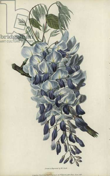 """Chinese wisteria, Wisteria sinensis. Handcoloured botanical illustration drawn and engraved by William Clark from Richard Morris's """"Flora Conspicua"""" London, Longman, Rees, 1826. William Clark was former draughtsman to the London Horticultural Society and illustrated many botanical books in the 1820s and 1830s."""
