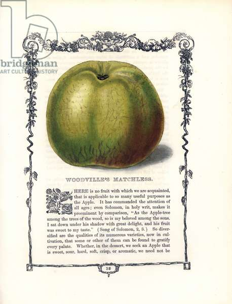 "Apple Woodville Matchless. Lithograph by Benjamin Maund (1790-1863) published in The Fruitist, London, England, 1850. Woodville's Matchless apple, Malus domestica, within a Della Robbia ornamental frame with text below. Handcoloured glyphograph from Benjamin Maund's """" The Fruitist,"""" London, 1850, Groombridge and Sons."