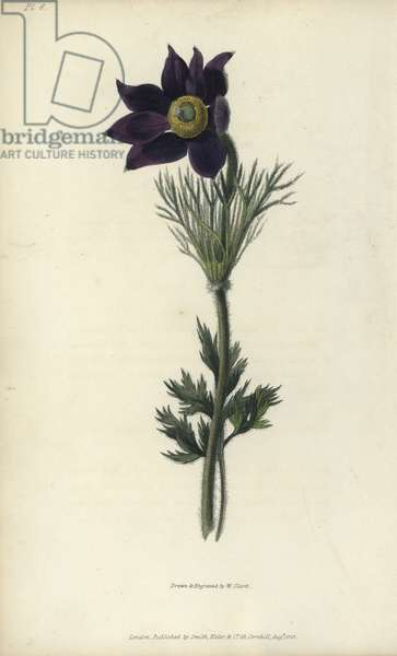 """Pasque flower, Pulsatilla vulgaris. Handcoloured botanical illustration drawn and engraved by William Clark from Richard Morris's """"Flora Conspicua"""" London, Longman, Rees, 1826. William Clark was former draughtsman to the London Horticultural Society and illustrated many botanical books in the 1820s and 1830s."""