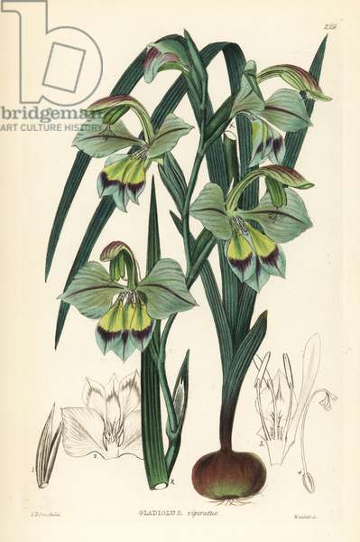 Glaieul - Gladiolus orchidiflorus (Perfumed corn-flag, Gladiolus viperatus). Handcoloured copperplate engraving by Weddell after Edwin Dalton Smith from John Lindley and Robert Sweet's Ornamental Flower Garden and Shrubbery, G. Willis, London, 1854.