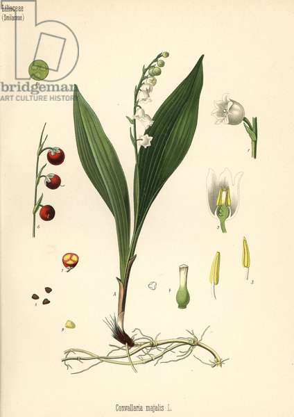 Lily of the valley, Convallaria majalis. Chromolithograph after a botanical illustration from Hermann Adolph Koehler's Medicinal Plants, edited by Gustav Pabst, Koehler, Germany, 1887.