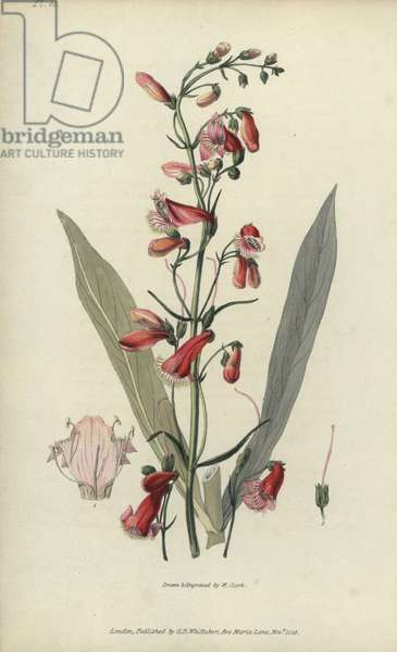 """Scarlet bugler, Penstemon barbatus. Handcoloured botanical illustration drawn and engraved by William Clark from Richard Morris's """"Flora Conspicua"""" London, Longman, Rees, 1826. William Clark was former draughtsman to the London Horticultural Society and illustrated many botanical books in the 1820s and 1830s."""