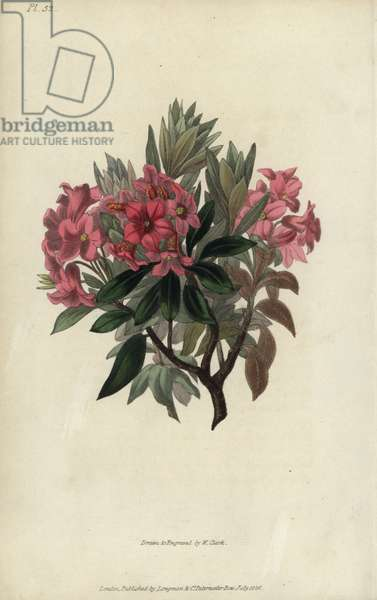 """Rust-leaved rosebay, Rhododendron ferrugineum. Handcoloured botanical illustration drawn and engraved by William Clark from Richard Morris's """"Flora Conspicua"""" London, Longman, Rees, 1826. William Clark was former draughtsman to the London Horticultural Society and illustrated many botanical books in the 1820s and 1830s."""