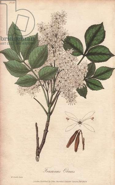 Manna ash tree, Fraxinus ornus